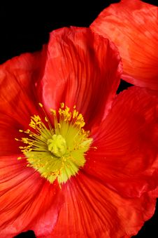 Free Closeup Of Red Poppy Royalty Free Stock Image - 16048516
