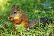 Free Squirrel On Grass With Nut. Royalty Free Stock Photo - 16049425