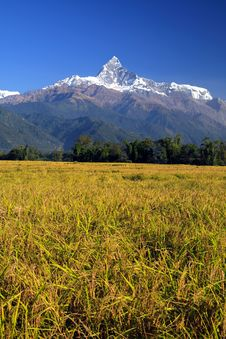 Free Harvest,Terrace Rice Paddy Field Royalty Free Stock Photography - 16049557