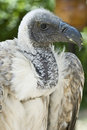 Free Closeup From A Griffon Vulture Head. Royalty Free Stock Photo - 16058155