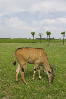 Free Antelope Royalty Free Stock Photography - 16050317