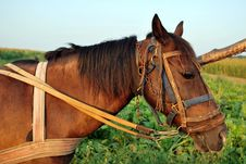 Free Harnessed Horse Stock Photography - 16050692
