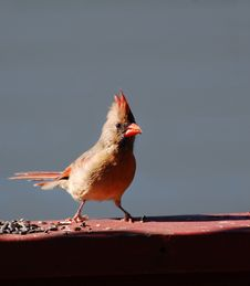 Free Cardinal Royalty Free Stock Image - 16050866