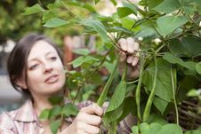 Free A Woman Picking Runner Beans Royalty Free Stock Photo - 16051315