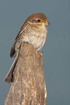 Free Juvenile Of Red-backed Shrike, Lanius Collurio Stock Photo - 16052670
