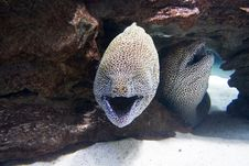 Free Two Moray Eels In The Sea Royalty Free Stock Photos - 16053158