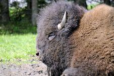 Free Bison Royalty Free Stock Photos - 16053308