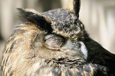 Free Sleeping Owl Stock Photography - 16053502
