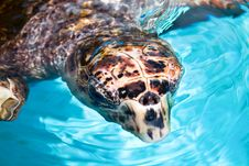 Sea Turtle  Swimming In Tropical Water Stock Image