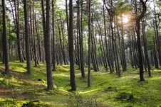 Free Green Pine Forest With Ray Of Light Stock Photos - 16054913