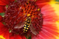 Hoverfly, Eupeodes Luniger, On The Stamens Of A Re Royalty Free Stock Photos