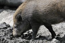 Free Wild Boar Stock Photos - 16055623