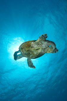Free Hawksbill Turtle Stock Image - 16056111