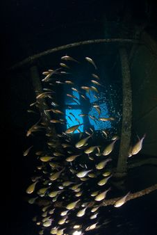 Free School Of Silver Fish Inside Shipwreck Stock Photos - 16056113