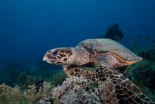 Free Hawksbill Turtle Stock Photos - 16056133
