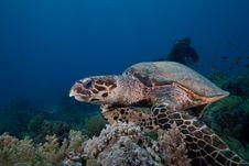 Free Hawksbill Turtle Stock Photos - 16056133