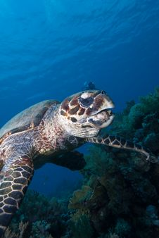 Free Hawksbill Turtle Royalty Free Stock Photos - 16056138
