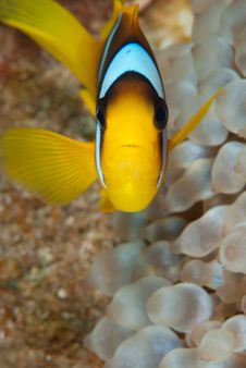 Free Anemone Fish Royalty Free Stock Photography - 16056157