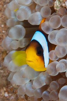 Free Anemone Fish Royalty Free Stock Photos - 16056178