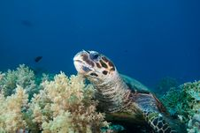 Free Hawksbill Turtle Stock Image - 16056191
