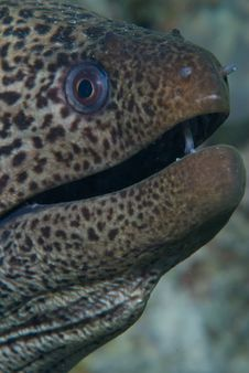 Free Giant Moray Royalty Free Stock Images - 16056219
