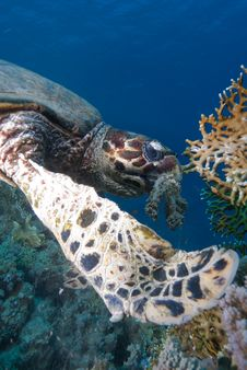 Free Hawksbill Turtle Stock Photography - 16056242