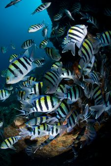 Free Large Shoal Of Tropical Fish Royalty Free Stock Photo - 16056255