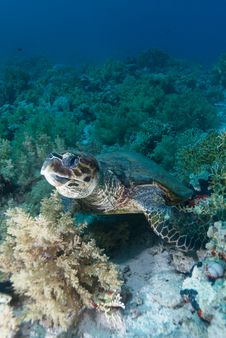 Free Hawksbill Turtle Royalty Free Stock Photography - 16056257
