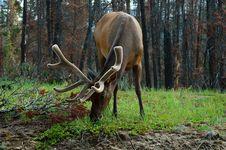 Free Elk With Valvet Rack Royalty Free Stock Photos - 16056768