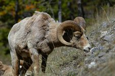 Free Bighorn Grazing In Spring Royalty Free Stock Image - 16057036