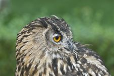 Profile From An Eagle Owl. Royalty Free Stock Images