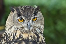 Free Closeup From An Eagle Owl. Stock Photo - 16058120