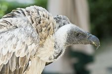 Free Closeup From A Griffon Vulture. Royalty Free Stock Photo - 16058145