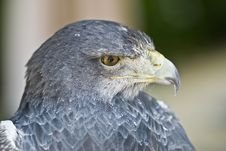 Closeup From An Eagle Head. Royalty Free Stock Image