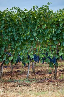 Free Vineyards Royalty Free Stock Images - 16058259