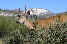 Free Spike Horn Deer Royalty Free Stock Images - 16058809