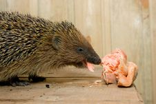 Free Hedgehog Royalty Free Stock Images - 16059109