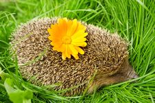 Free Hedgehog Royalty Free Stock Image - 16059136