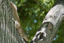 Squirrel Stock Image