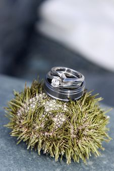 Free Sea Urchin Rings Royalty Free Stock Image - 16059906