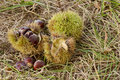 Free Ripe Chestnuts Fall After Autumn Rain Royalty Free Stock Images - 16064419