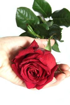 Beautiful Red Rose In The Hand Of Woman Stock Photos