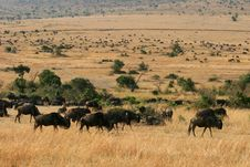 Free Kenya S Maasai Mara Animal Migration Royalty Free Stock Photography - 16062537