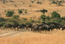 Free Kenya S Maasai Mara Animal Migration Stock Image - 16062741