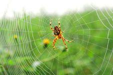 Free European Garden Spider Royalty Free Stock Image - 16062916