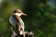Free Brown Hooded Kingfisher Stock Photography - 16063832