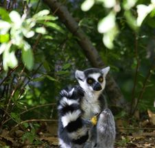 Free Lemur Holds Precious Autumn Leaf Stock Photos - 16064363