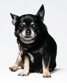 Free Chihuahua Stock Photos - 16064433