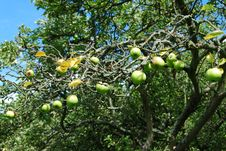 Free Green Apples Stock Photography - 16065312