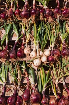 Free Drying Onions Stock Photos - 16066553
